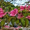Pink Dogwood and Raindrops