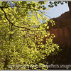 The afternoon sun shines through the leaves on a maple tree in Zion National Park in Utah