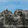 Breeding Colony of Murre and A Few Gulls