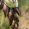 Aphids on Yucca Buds