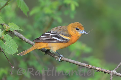 Baltimore Oriole ♀