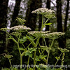 Water Hemlock or Cow Parsnip