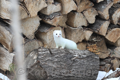 Short-Tailed Weasel or Ermine