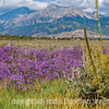 A field of wild asters with the Wet Mountains in the background.