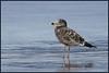 junior pacific gull
