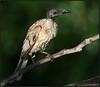 noisy friar bird