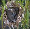 noisy friar bird chicks