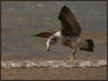 pacific gull hovering