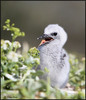 Tina Dial-common noddy chick-Lady Elliot Island-CLEO275