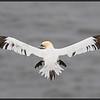 gannet, bempton cliffs