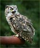 barding owl