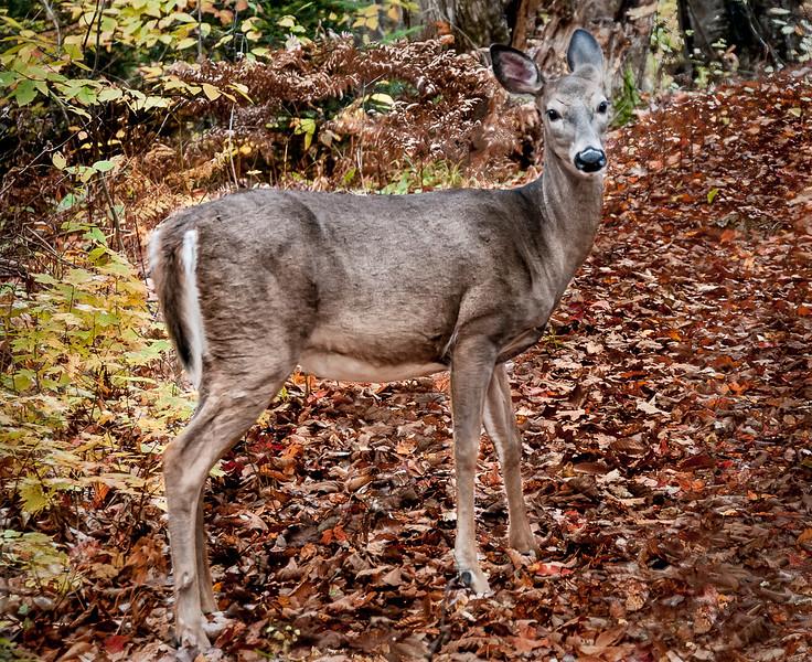 Deer along side cottage road near Halliburton. Quite approachable!