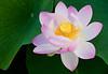 """Lotus Bloom"" - taken at Moore Gardens near St Thomas, Ontario. This image won top Image of the Year  2012-13 at the Etobicoke Camera Club Annual Banquet May 2013"