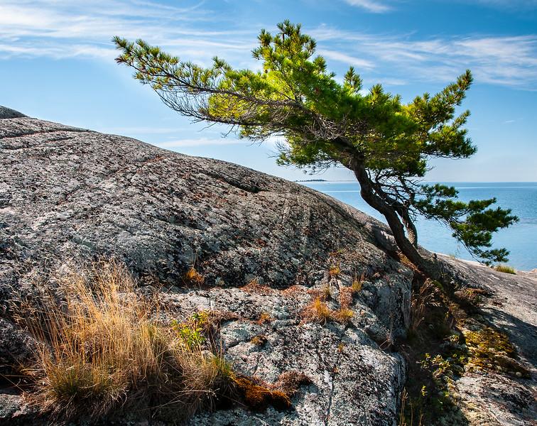 Georgian Bay - Wind Swept Pine