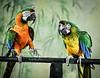 Stevenson - Parrots e1-4181