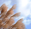 Grasses-at-Abilene-8961