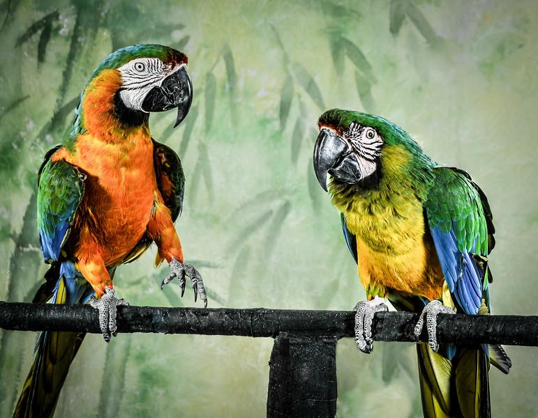 Stevenson - Parrots e1-4181-SUBMIT IOTY