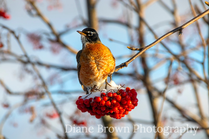 Robin on Red Berries