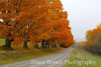 Vermont Maple Trees
