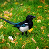 Alaskan black billed magpie (Pica hudsonia)