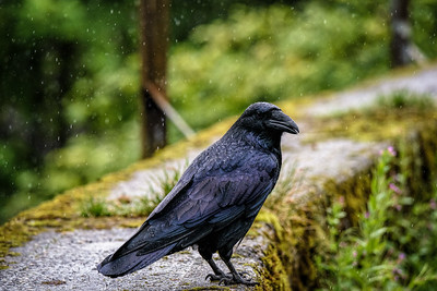 Corvus corax (Common Alaskan Raven)
