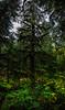 Antler spruce