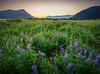 Last of the lupines