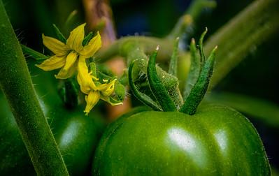 Tomato, Tomato, flower