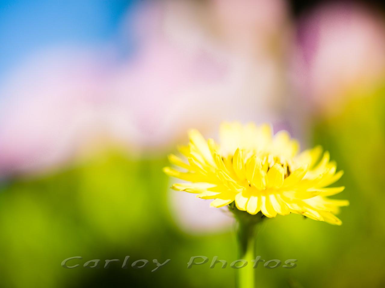 Dandelion Flower amidst the Primroses