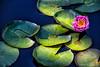 Lilies Flower<br /> Longwood Gardens <br /> Kennett Square, Pennsylvania