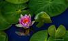 Lilies Reflection<br /> Longwood Gardens <br /> Kennett Square, Pennsylvania
