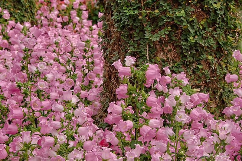 Pink Flowers<br /> Longwood Gardens <br /> Kennett Square, Pennsylvania