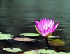 Flower In A Pond<br /> Brookgreen Gardens<br /> Myrtle Beach, South Carolina