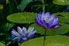 Water Flower<br /> Longwood Gardens <br /> Kennett Square, Pennsylvania
