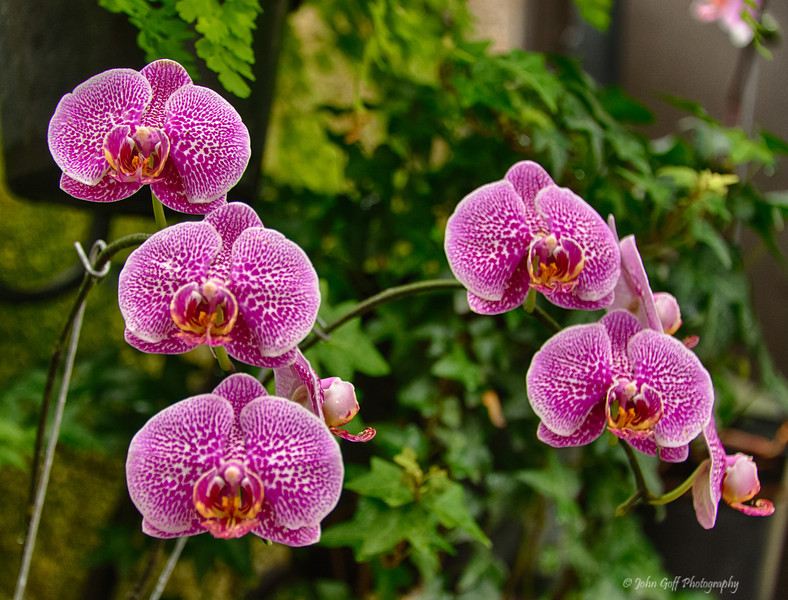 Five Orchid<br /> Longwood Gardens <br /> Kennett Square, Pennsylvania