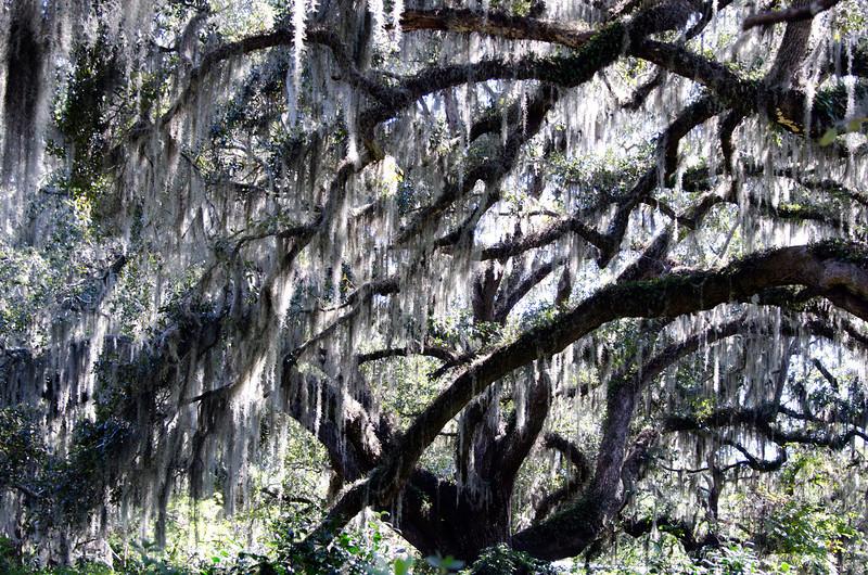 Moss<br /> Brookgreen Gardens<br /> Myrtle Beach, South Carolina