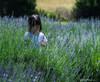 What Is This<br /> Seven Oaks Lavender Farm<br /> Catlett, Virginia
