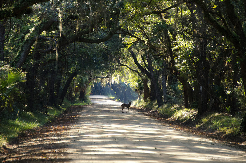 Deer at the Plantation<br /> Botany Bay Plantation   <br /> Edisto Island,  South Carolina.