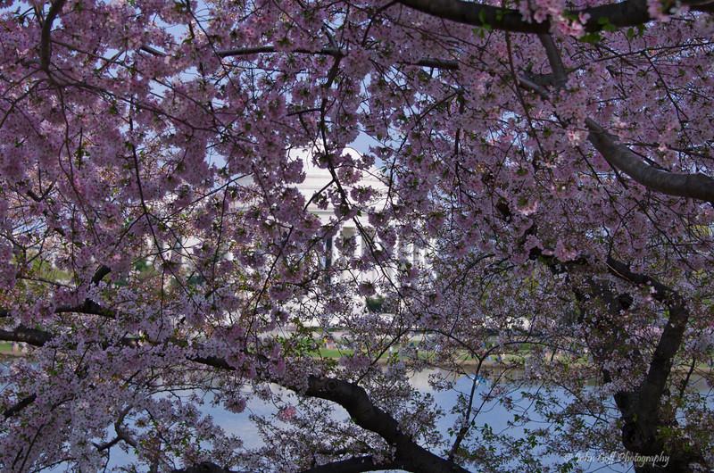 Another Blossom<br /> 2012 Cherry Blossom Festival,  Jefferson Monment<br /> Washington D.C.