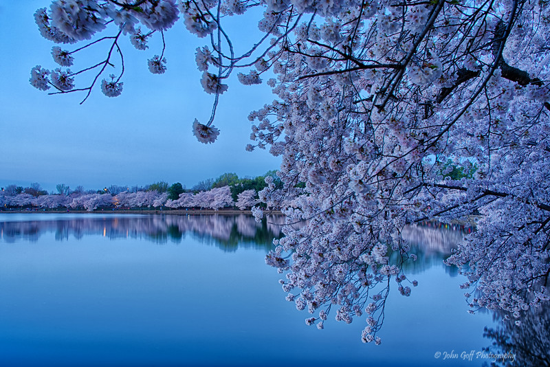 Looking At Blossoms<br /> Cherry Blosson 2014<br /> Washington D.C.