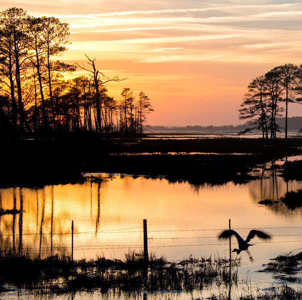 Low Flying At Twilight <br /> Chincoteague National Wildlife Refuge<br /> Chincoteague, Virginia