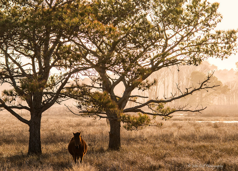 Horse Between Two Trees<br /> Chincoteague National Wildlife Refuge<br /> Chincoteague, Virginia