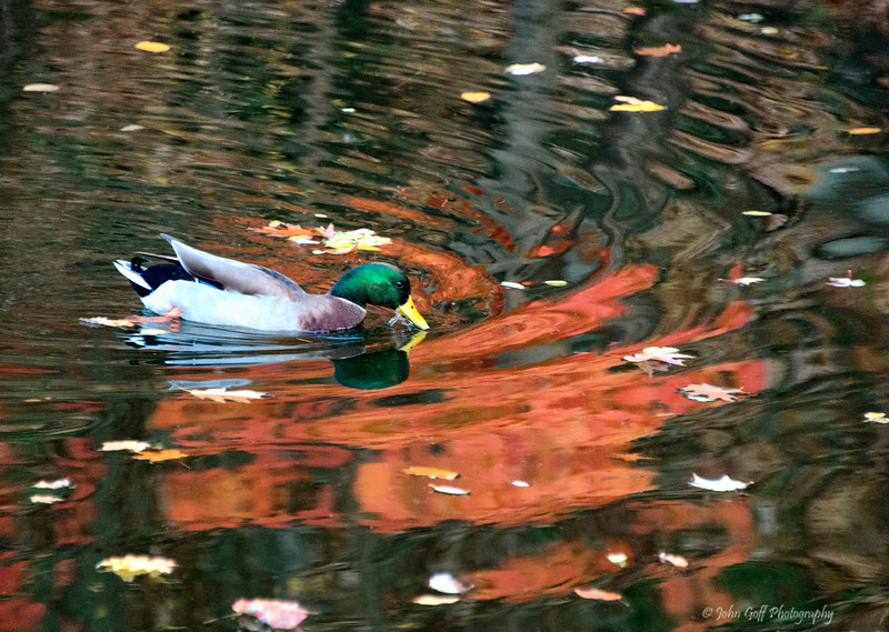 Duck On A Pond<br /> Keyser, West Virginia