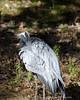 Hiding<br /> Demoiselle Crane<br /> Maryland Zoo<br /> Baltimore Maryland