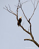 Eagle Watching Me<br /> Sycamore Llanding Planation<br /> St. Michaels, Maryland