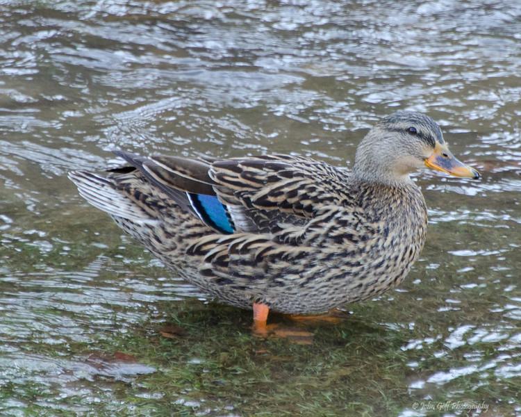 Duck Two<br /> Keyser,  West Virginia