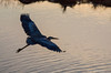 Flying Low<br /> Chincoteague National Wildlife Refuge<br /> Chincoteague, Virginia