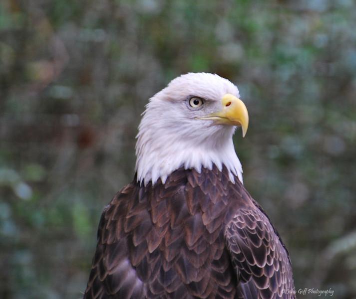 Eagle<br /> Brookgreen Gardens<br /> Myrtle Beach, South Carolina