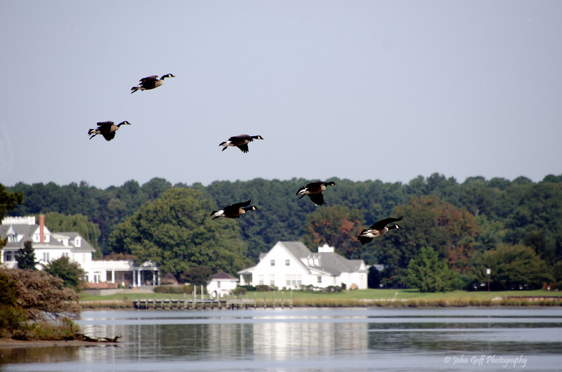 Here We Come<br /> Sycamore Llanding Planation<br /> St. Michaels, Maryland