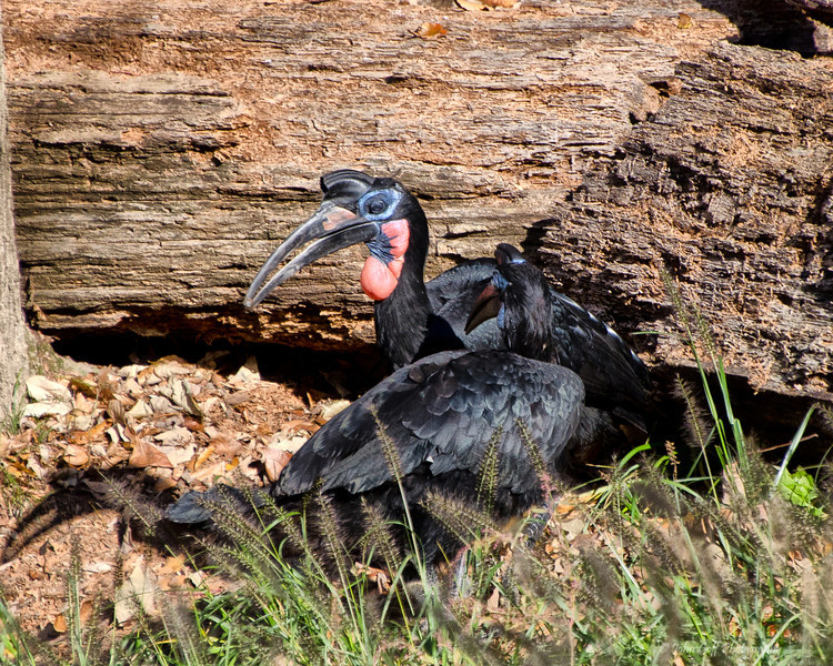 Only A Mother Could Love<br /> Lappet-Faced Vulture<br /> Maryland Zoo<br /> Baltimore Maryland